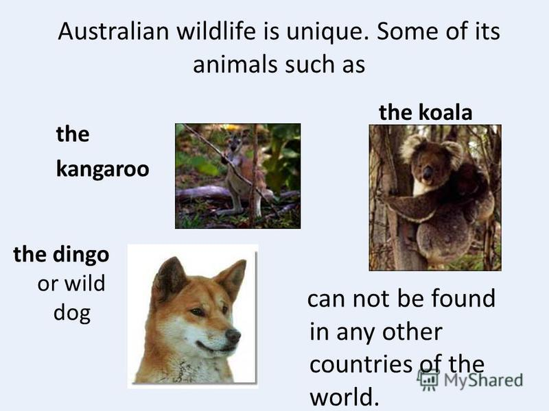 Australian wildlife is unique. Some of its animals such as the kangaroo the koala the dingo or wild dog can not be found in any other countries of the world.