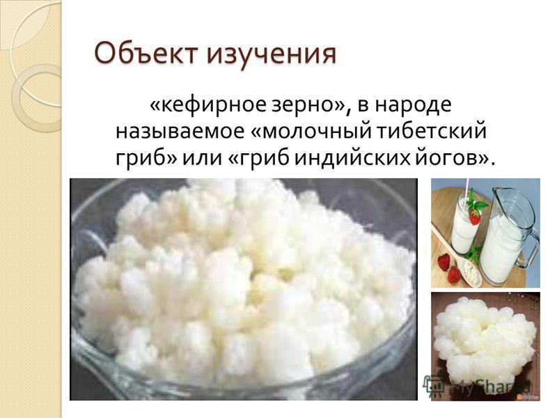 Объект изучения « кефирное зерно », в народе называемое « молочный тибетский гриб » или « гриб индийских йогов ».