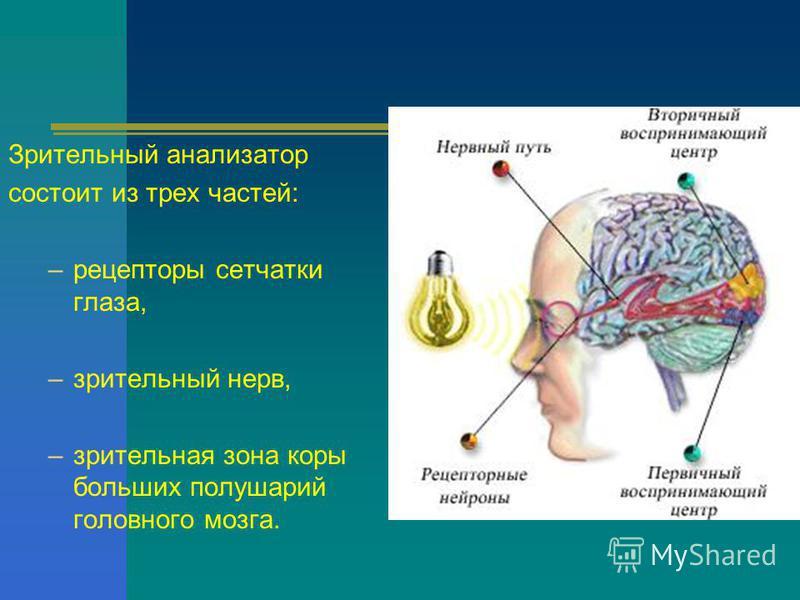 Зрительный анализатор состоит из трех частей: –рецепторы сетчатки глаза, –зрительный нерв, –зрительная зона коры больших полушарий головного мозга.