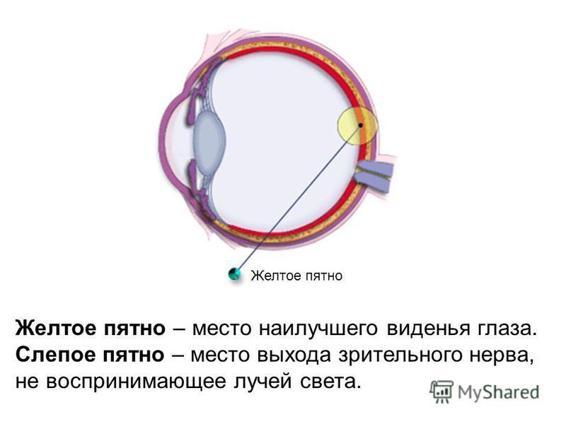 Желтое пятно Желтое пятно – место наилучшего виденья глаза. Слепое пятно – место выхода зрительного нерва, не воспринимающее лучей света.