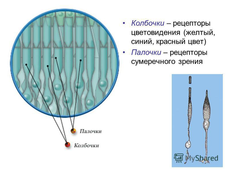 Колбочки – рецепторы цветоведения (желтый, синий, красный цвет) Палочки – рецепторы сумеречного зрения