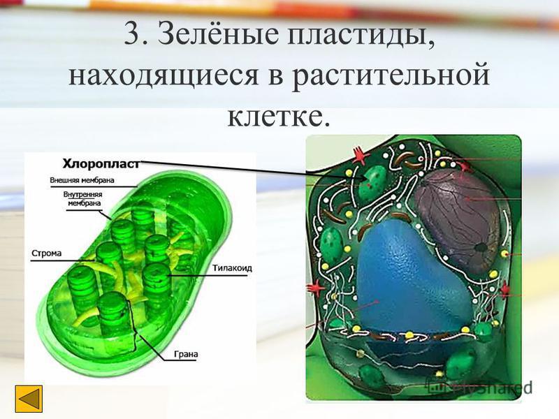 3. Зелёные пластиды, находящиеся в растительной клетке.