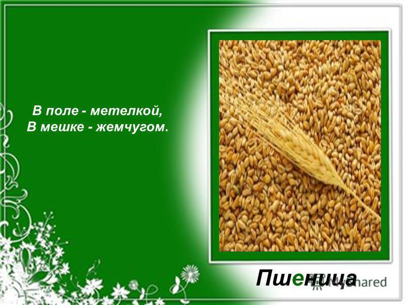 В поле - метелкой, В мешке - жемчугом. Пшеница