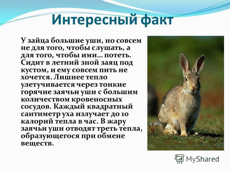 Интересный факт У зайца большие уши, но совсем не для того, чтобы слушать, а для того, чтобы ими… потеть. Сидит в летний зной заяц под кустом, и ему совсем пить не хочется. Лишнее тепло улетучивается через тонкие горячие заячьи уши с большим количест