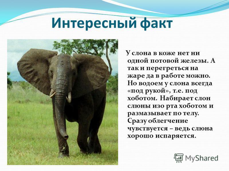 Интересный факт У слона в коже нет ни одной потовой железы. А так и перегреться на жаре да в работе можно. Но водоем у слона всегда «под рукой», т.е. под хоботом. Набирает слон слюны изо рта хоботом и размазывает по телу. Сразу облегчение чувствуется