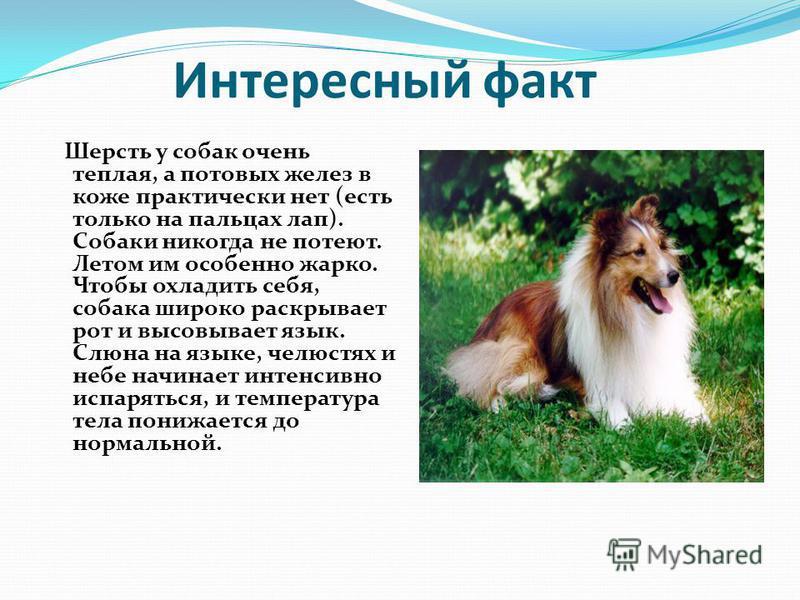 Интересный факт Шерсть у собак очень теплая, а потовых желез в коже практически нет (есть только на пальцах лап). Собаки никогда не потеют. Летом им особенно жарко. Чтобы охладить себя, собака широко раскрывает рот и высовывает язык. Слюна на языке,