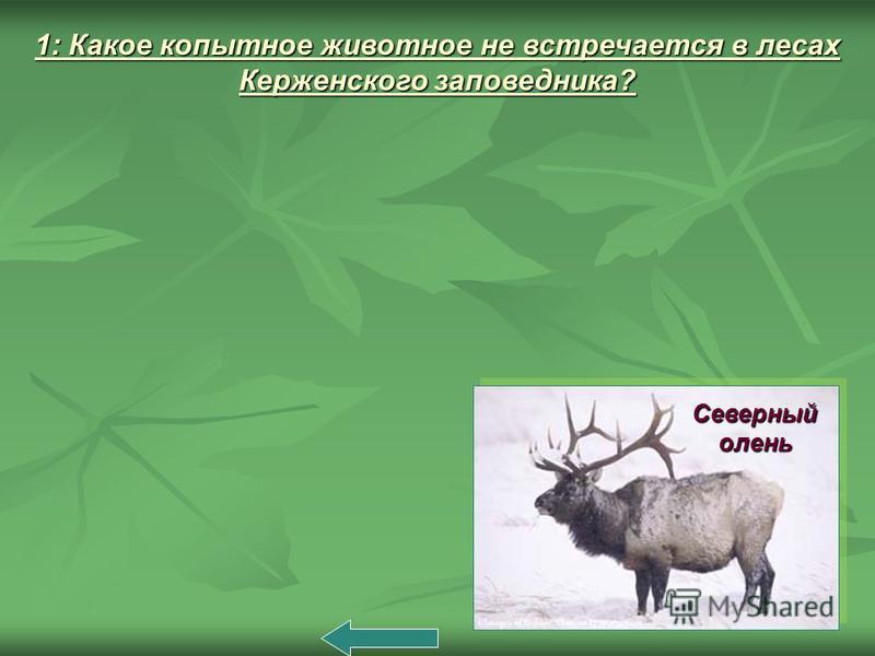 1: Какое копытное животное не встречается в лесах Керженского заповедника? Северный олень