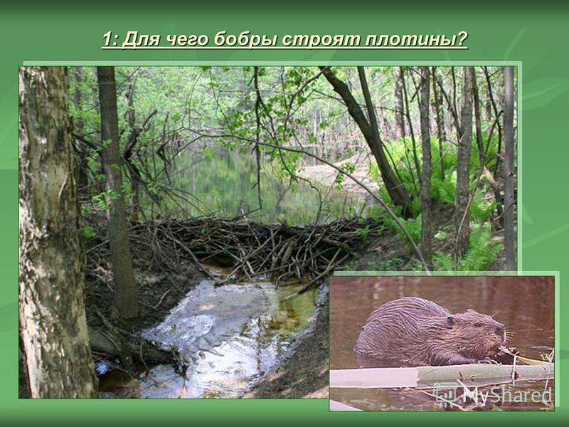 1: Для чего бобры строят плотины?