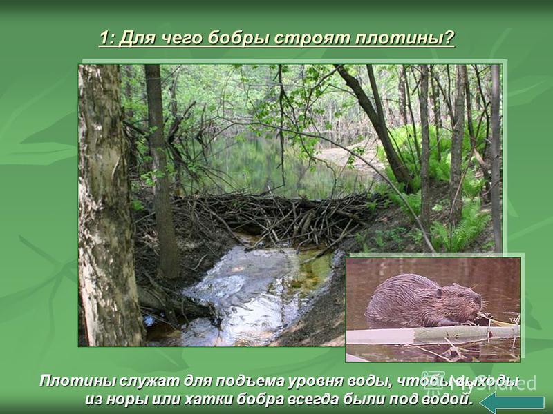 Плотины служат для подъема уровня воды, чтобы выходы из норы или хатки бобра всегда были под водой.