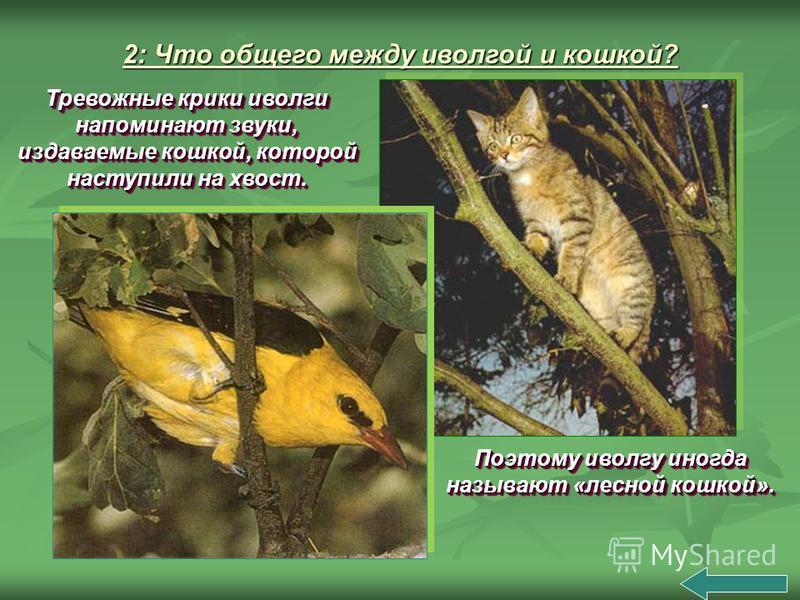 Поэтому иволгу иногда называют «лесной кошкой». Тревожные крики иволги напоминают звуки, издаваемые кошкой, которой наступили на хвост.