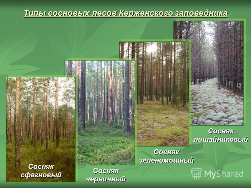 Типы сосновых лесов Керженского заповедника Сосняк лишайниковый Сосняк зеленомошный Сосняк черничный Сосняк сфагновый
