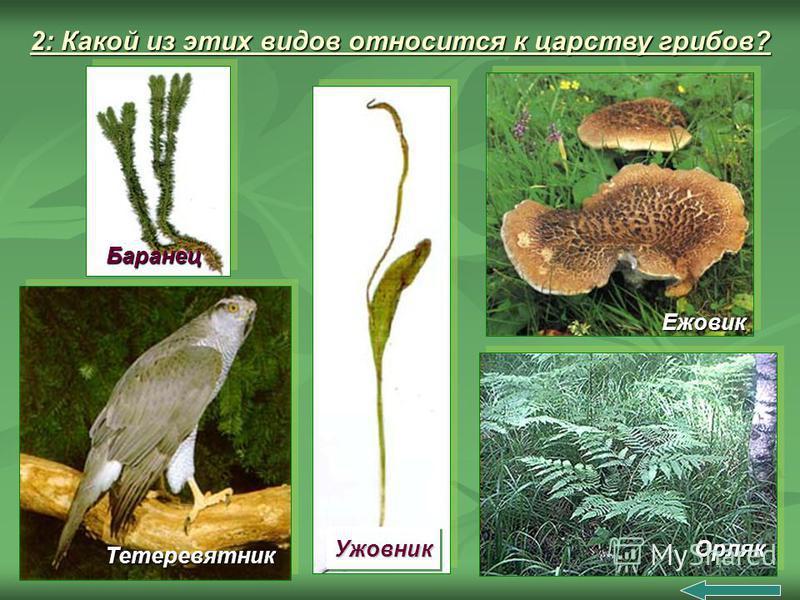 2: Какой из этих видов относится к царству грибов? Ужовник Ужовник Баранец Баранец Орляк Ежовик Тетеревятник