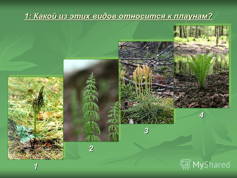 1: Какой из этих видов относится к плаунам? 1 3 4 2