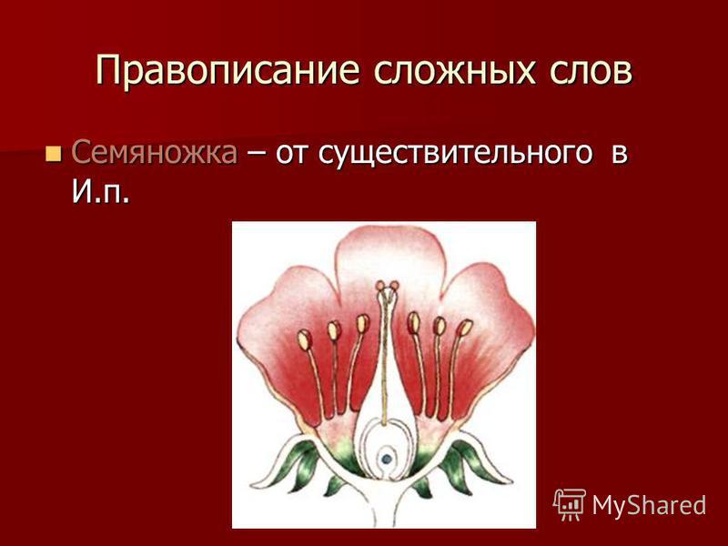 Правописание сложных слов Семяножка – от существительного в И.п. Семяножка – от существительного в И.п.