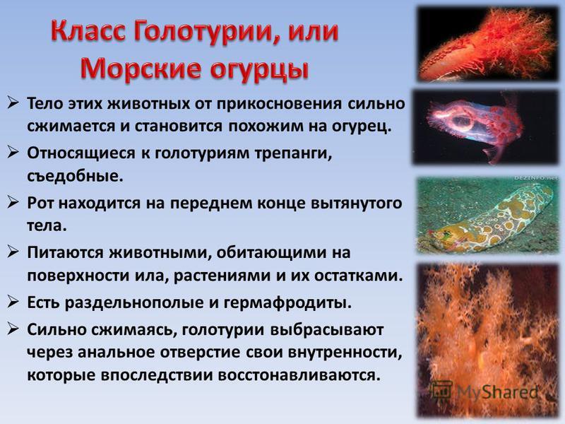 Тело этих животных от прикосновения сильно сжимается и становится похожим на огурец. Относящиеся к голотуриям трепанги, съедобные. Рот находится на переднем конце вытянутого тела. Питаются животными, обитающими на поверхности ила, растениями и их ост