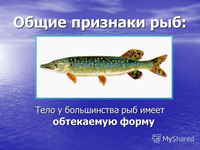 Общие признаки рыб: Тело у большинства рыб имеет обтекаемую форму