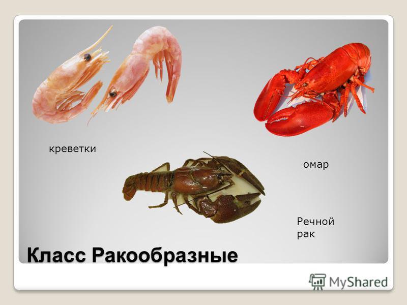 Класс Ракообразные креветки омар Речной рак
