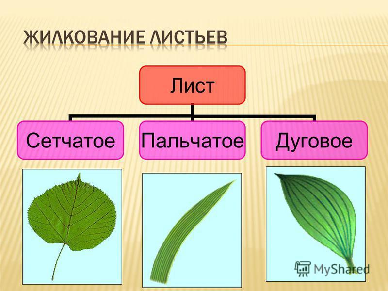 Лист Сетчатое ПальчатоеДуговое