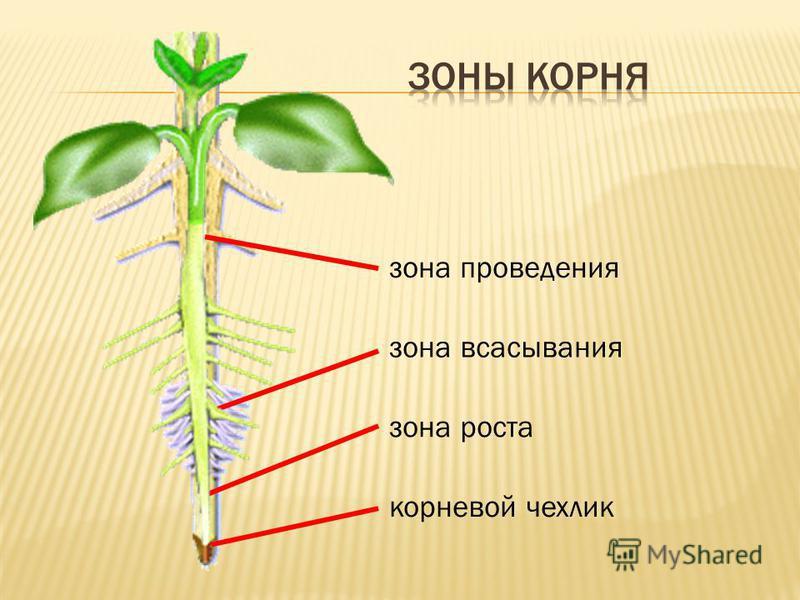 корневой чехлик зона всасывания зона роста зона проведения