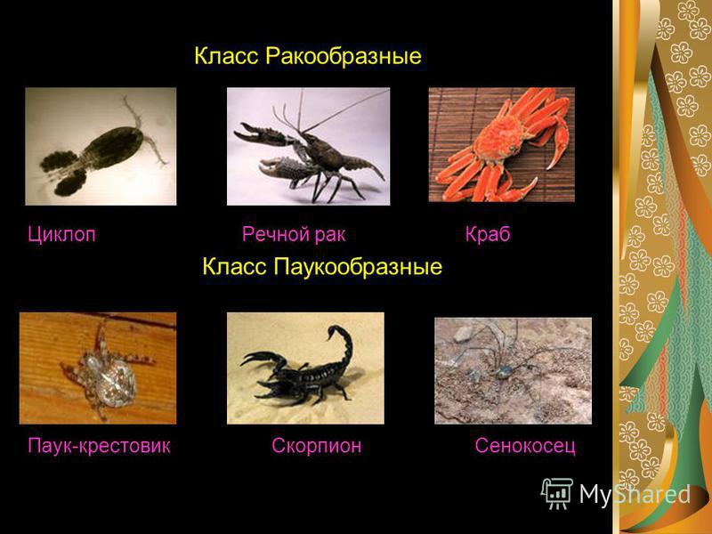 Класс Ракообразные Циклоп Речной рак Краб Класс Паукообразные Паук-крестовик Скорпион Сенокосец