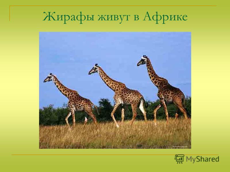 Жирафы живут в Африке