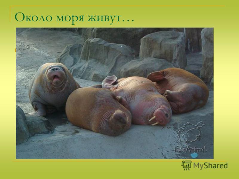 Около моря живут… Моржи