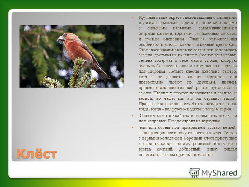 Клёст Крупная птица окраса спелой малины с длинными и узкими крыльями, короткими толстыми лапами с сильными пальцами, заканчивающимися острыми когтями, коротким раздвоенным хвостом и густым оперением. Главная отличительная особенность клеста -клюв, с