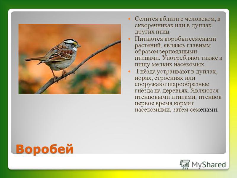 Воробей Селится вблизи с человеком, в скворечниках или в дуплах других птиц. Питаются воробьи семенами растений, являясь главным образом зерноядными птицами. Употребляют также в пищу мелких насекомых. Гнёзда устраивают в дуплах, норах, строениях или