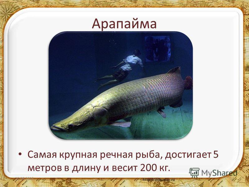 Арапайма Самая крупная речная рыба, достигает 5 метров в длину и весит 200 кг. 10.08.201517
