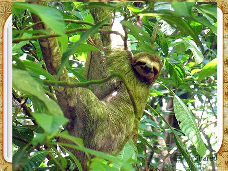 Ленивец Спешить ленивцам некуда, поскольку питаются они побегами, цветами и плодами деревьев, на которых проводят всю жизнь вниз головой. Спасает их защитная окраска. Живущие в шерсти водоросли придают ей зеленоватый оттенок и маскирует животных в ли