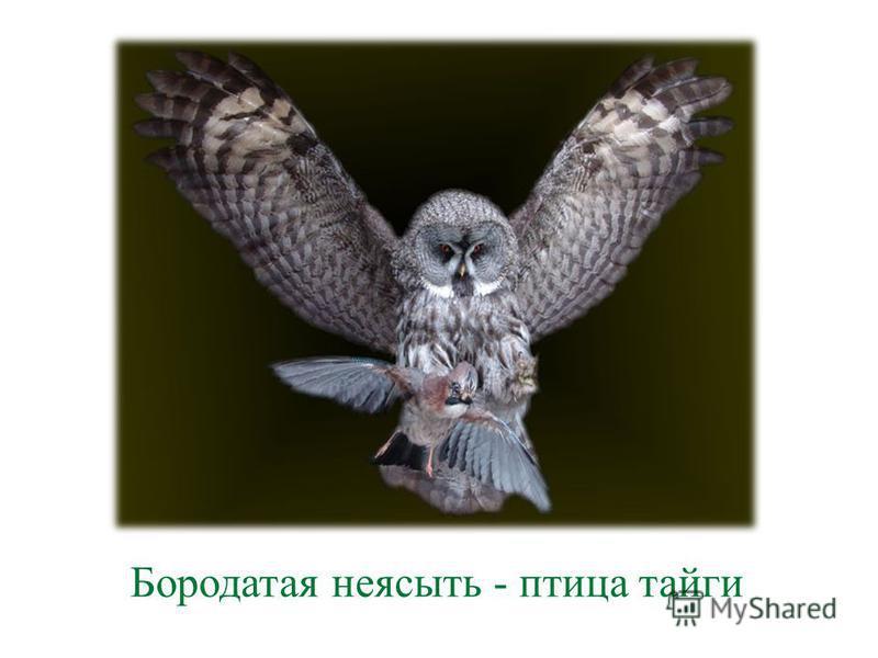 Бородатая неясыть - птица тайги