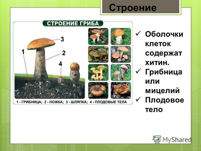 Доклад по биологии на тему грибы рекордсмены 340