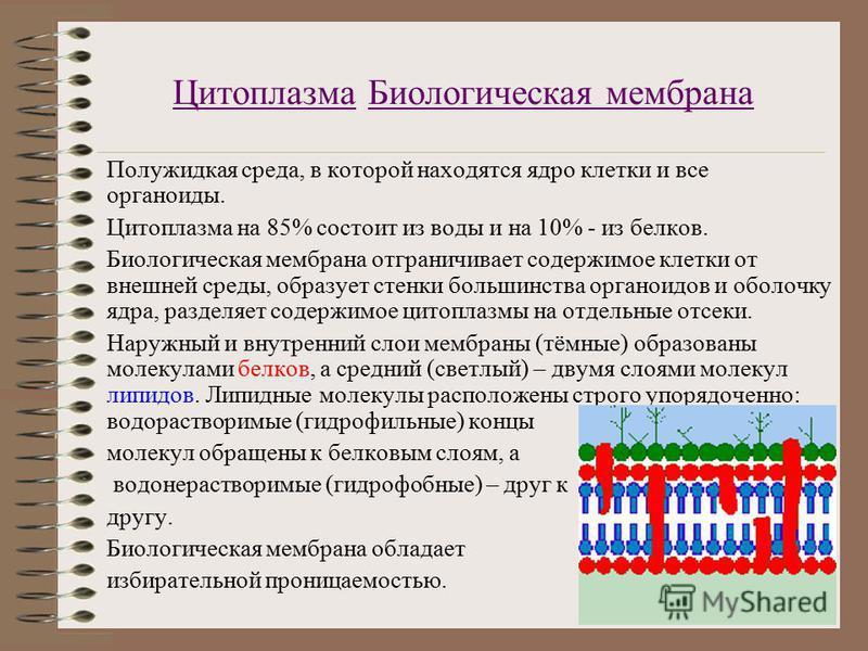 Цитоплазма Биологическая мембрана Полужидкая среда, в которой находятся ядро клетки и все органоиды. Цитоплазма на 85% состоит из воды и на 10% - из белков. Биологическая мембрана отграничивает содержимое клетки от внешней среды, образует стенки боль