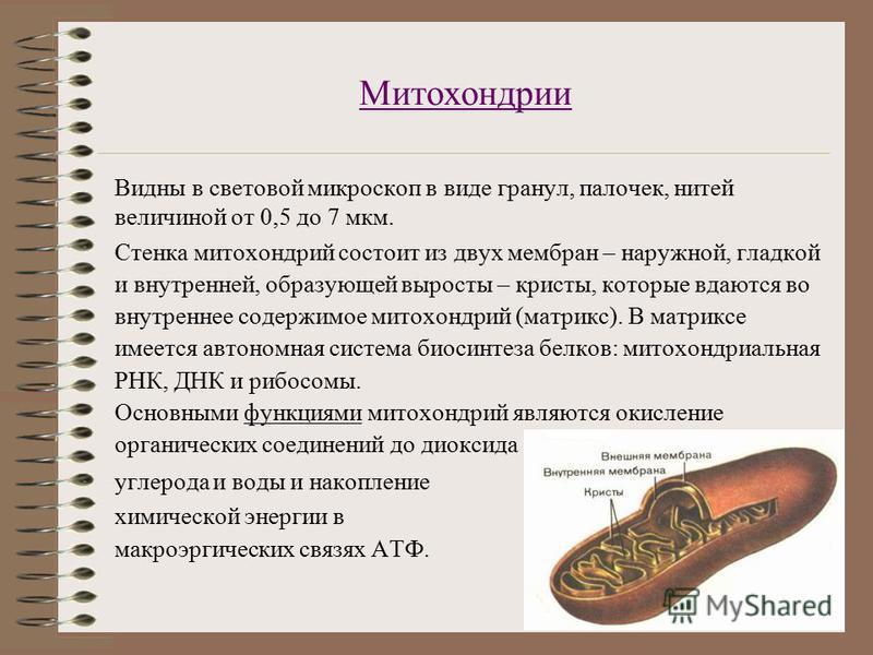 Митохондрии Видны в световой микроскоп в виде гранул, палочек, нитей величиной от 0,5 до 7 мкм. Стенка митохондрий состоит из двух мембран – наружной, гладкой и внутренней, образующей выросты – кристы, которые вдаются во внутреннее содержимое митохон