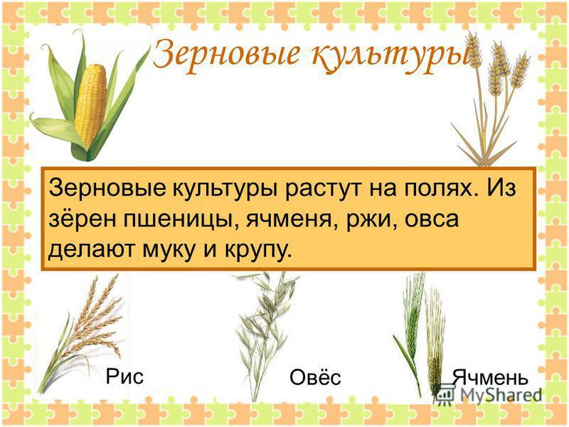 Зерновые культуры Зерновые культуры растут на полях. Из зёрен пшеницы, ячменя, ржи, овса делают муку и крупу. Рис Овёс Ячмень