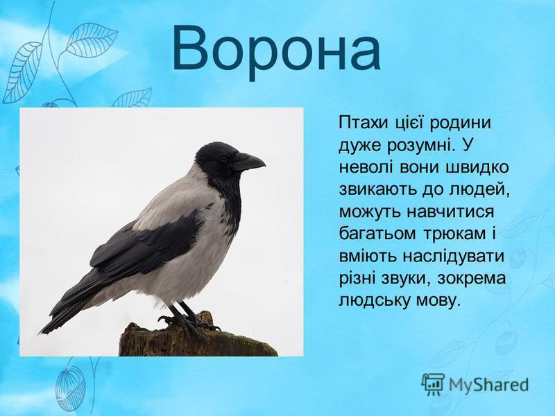 Ворона Птахи цієї родини дуже розумні. У неволі вони швидко звикають до людей, можуть навчитися багатьом трюкам і вміють наслідувати різні звуки, зокрема людську мову.