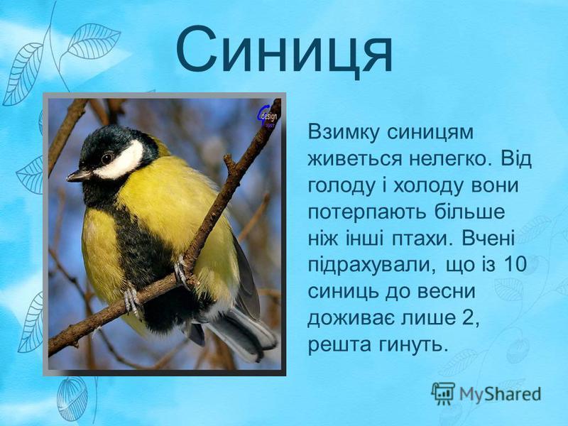 Синиця Взимку синицям живеться нелегко. Від голоду і холоду вони потерпають більше ніж інші птахи. Вчені підрахували, що із 10 синиць до весни доживає лише 2, решта гинуть.