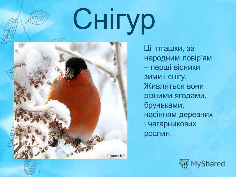 Снігур Ці пташки, за народним повірям – перші вісники зими і снігу. Живляться вони різними ягодами, бруньками, насінням деревних і чагарникових рослин.