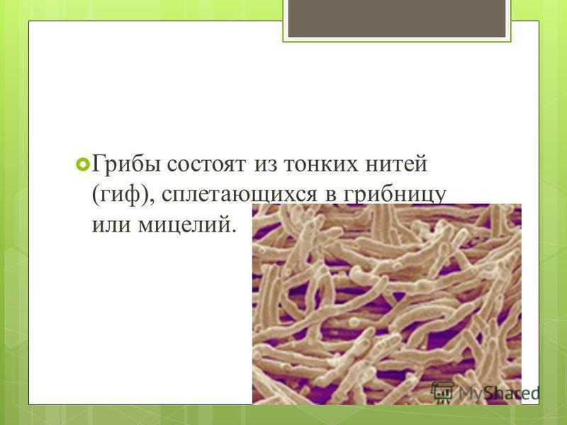 Грибы состоят из тонких нитей (гиф), сплетающихся в грибницу или мицелий.