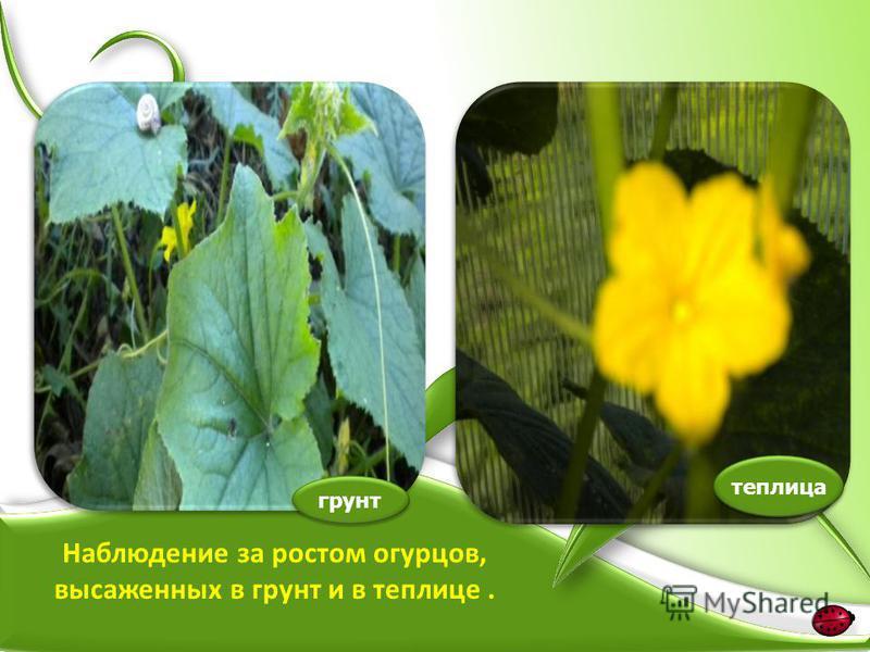 грунт теплица Наблюдение за ростом огурцов, высаженных в грунт и в теплице.