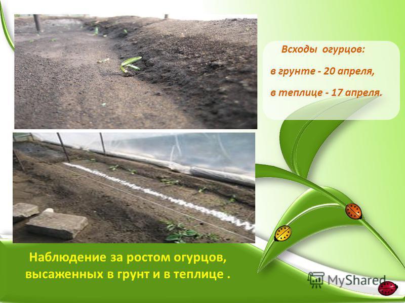 Всходы огурцов: в грунте - 20 апреля, в теплице - 17 апреля. Наблюдение за ростом огурцов, высаженных в грунт и в теплице.