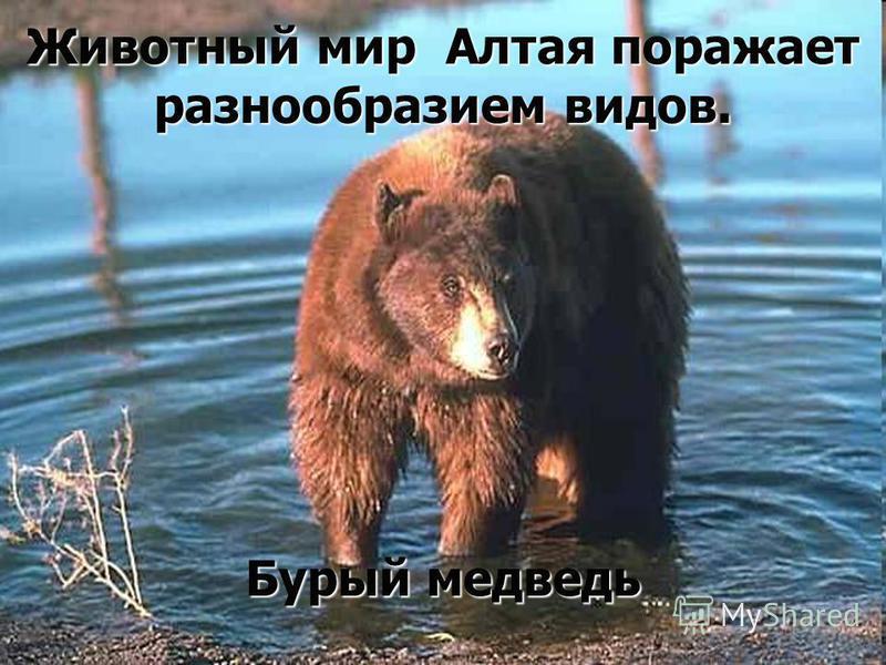 Животный мир Алтая поражает разнообразием видов. Бурый медведь