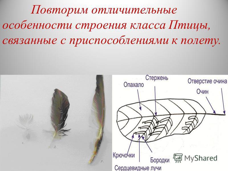 Повторим отличительные особенности строения класса Птицы, связанные с приспособлениями к полету.