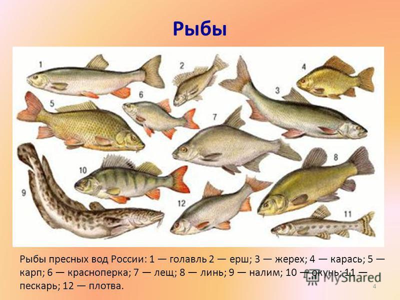 Рыбы Рыбы пресных вод России: 1 голавль 2 ерш; 3 жерех; 4 карась; 5 карп; 6 красноперка; 7 лещ; 8 линь; 9 налим; 10 окунь; 11 пескарь; 12 плотва. 4