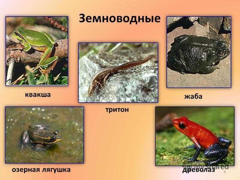 Земноводные квакша древолаз жаба тритон озерная лягушка 8