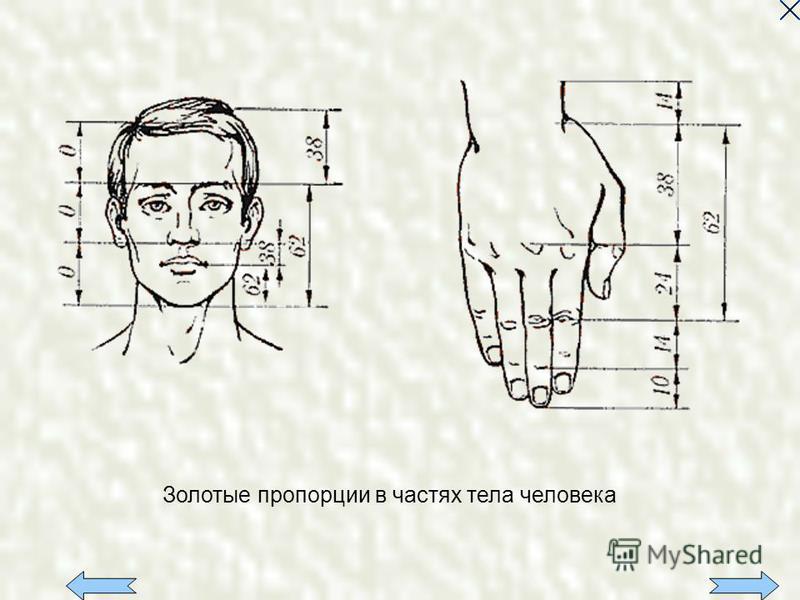 Золотые пропорции в частях тела человека