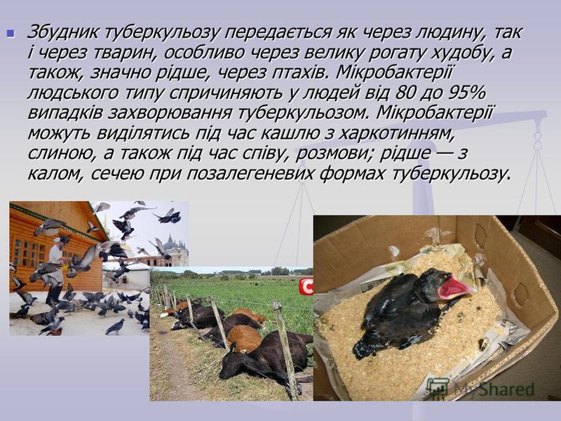 Збудник туберкульозу передається як через людину, так і через тварин, особливо через велику рогату худобу, а також, значно рідше, через птахів. Мікробактерії людського типу спричиняють у людей від 80 до 95% випадків захворювання туберкульозом. Мікроб