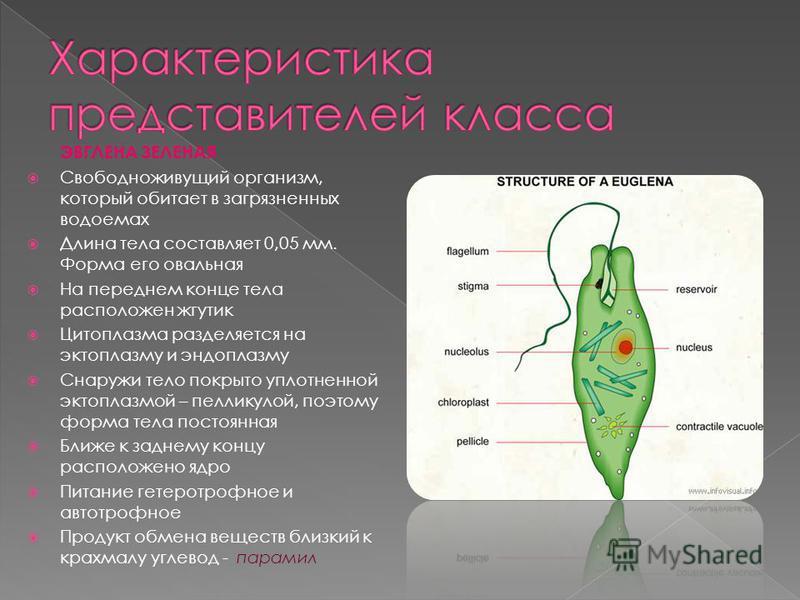 ЭВГЛЕНА ЗЕЛЕНАЯ Свободноживущий организм, который обитает в загрязненных водоемах Длина тела составляет 0,05 мм. Форма его овальная На переднем конце тела расположен жгутик Цитоплазма разделяется на эктоплазму и эндоплазму Снаружи тело покрыто уплотн