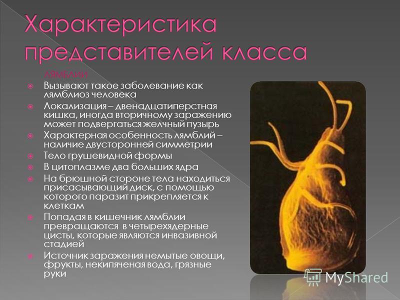 ЛЯМБЛИИ Вызывают такое заболевание как лямблиоз человека Локализация – двенадцатиперстная кишка, иногда вторичному заражению может подвергаться желчный пузырь Характерная особенность лямблий – наличие двусторонней симметрии Тело грушевидной формы В ц