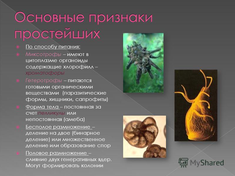 По способу питания: Миксотрофы – имеют в цитоплазме органоиды содержащие хлорофилл – хроматофоры Гетеротрофы – питаются готовыми органическими веществами (паразитические формы, хищники, сапрофиты) Форма тела – постоянная за счет пелликулы или непосто
